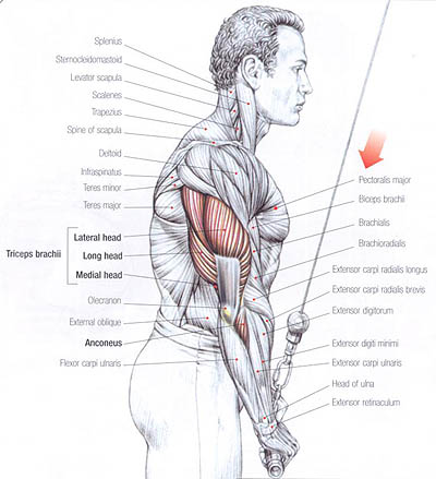 The lateral, long and medial heads of the triceps muscle.
